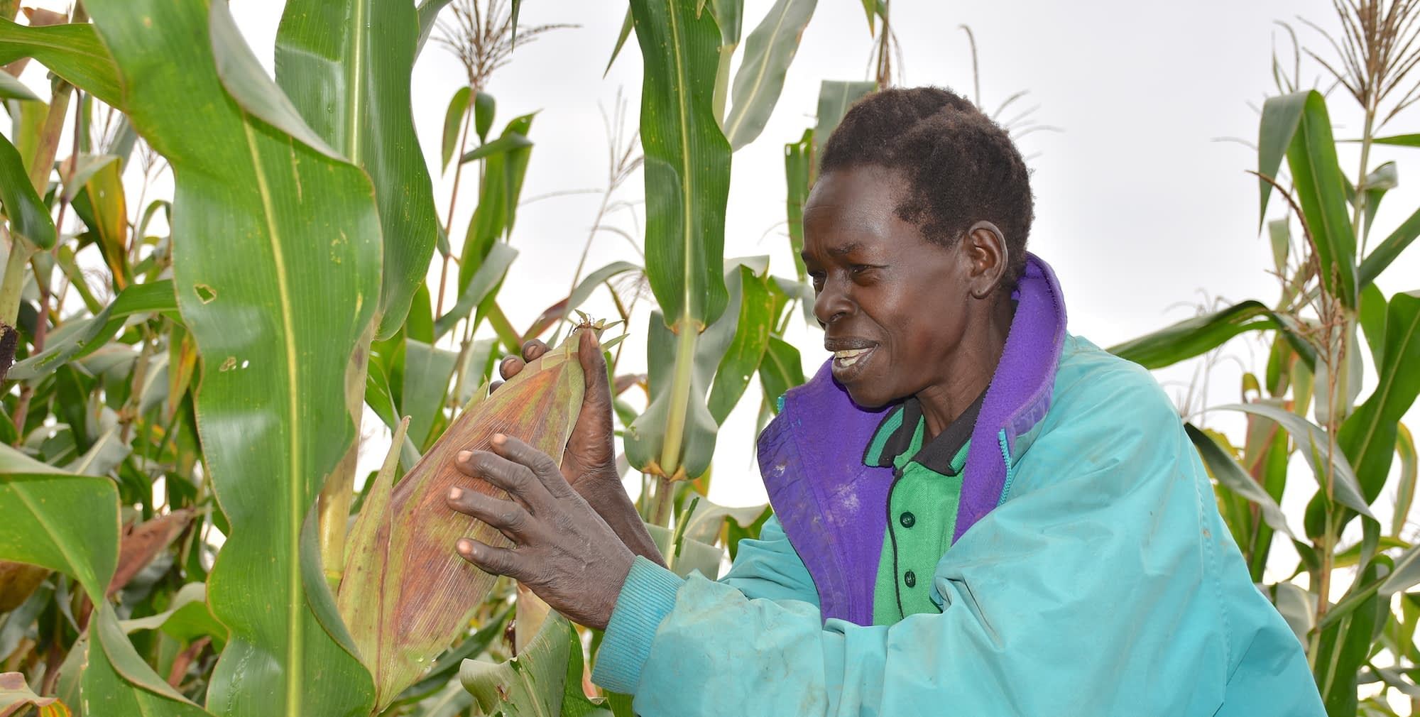 Dorine Akoth, a smallholder demo plot farmer in Gulu, northern Uganda, shows a maize plant on her plot on which she has planted several varieties that have passed through CIMMYT's breeding pipeline. (Photo: Joshua Masinde/CIMMYT)