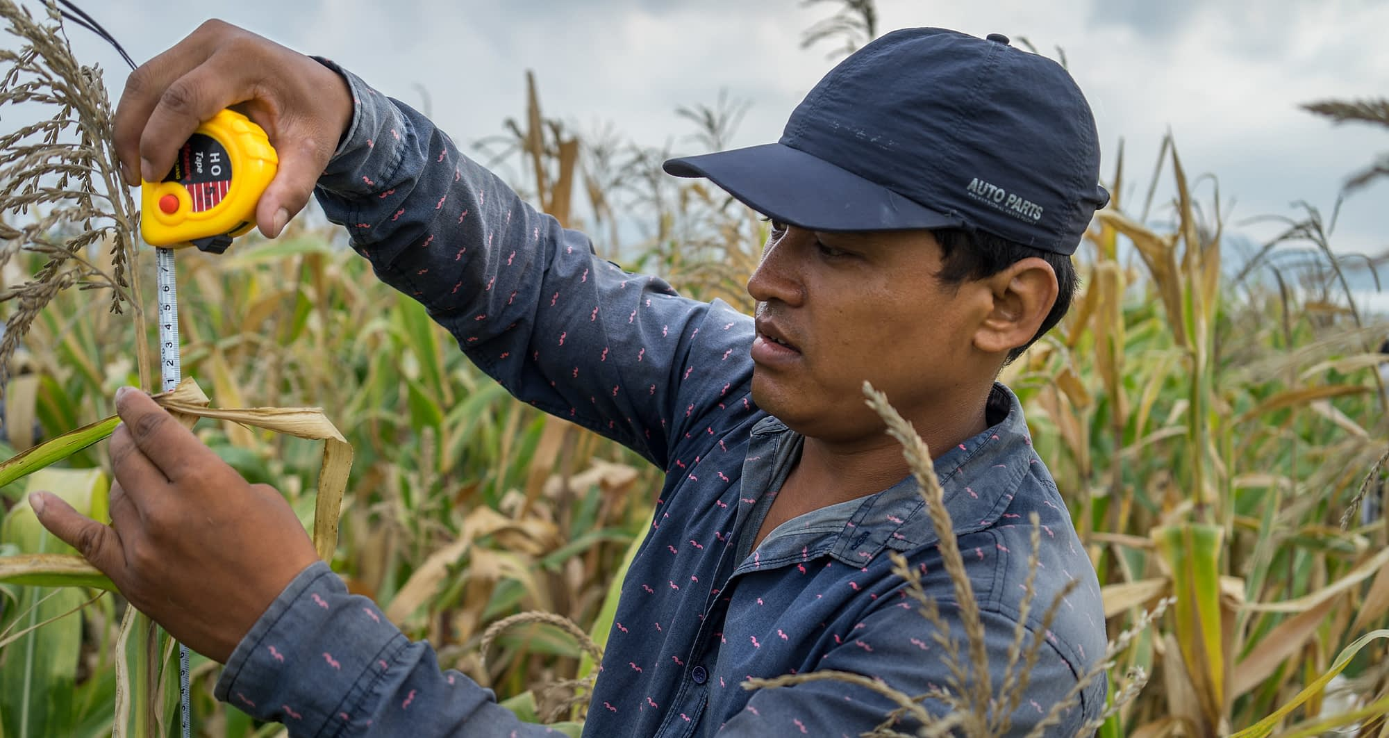 CIMMYT field research technician Pradip Chaudhary measures plant height in Bhuyera, Kailali, Nepal. (Photo: P. Lowe/CIMMYT)