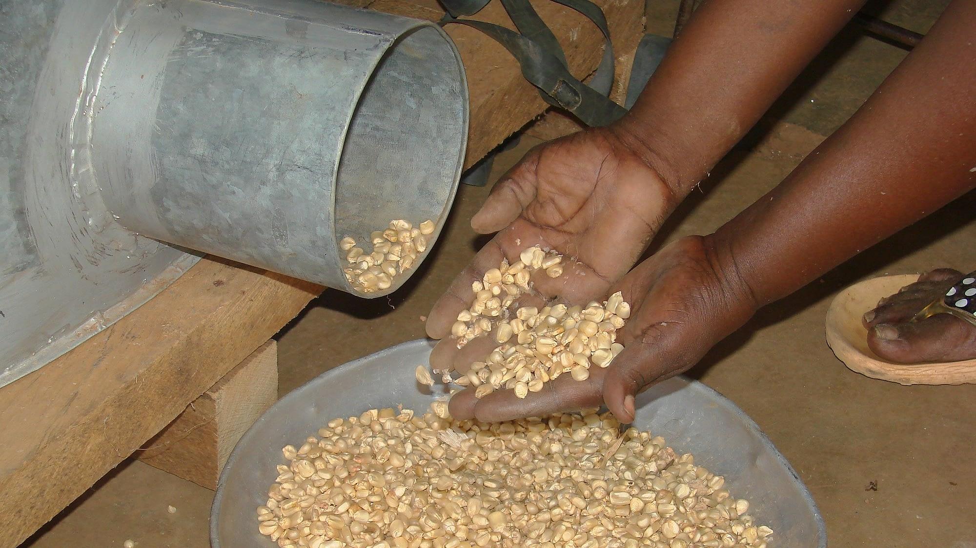 A farmer empties a metal silo filled with maize grain in Embu, Kenya. (Photo: CIMMYT)