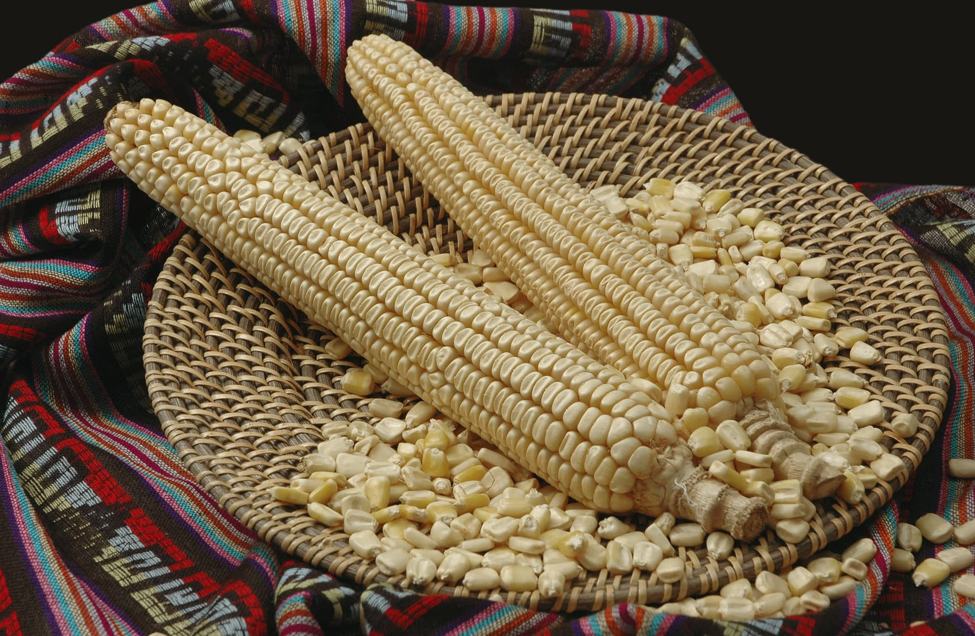 """Maize ears and seed of the Mexican """"Jala"""" landrace, native to the town of Jala, in the state of Nayarit. It is dent in type and white in color. This landrace is famous for producing the longest maize ears in the world. (Photo: CIMMYT)"""
