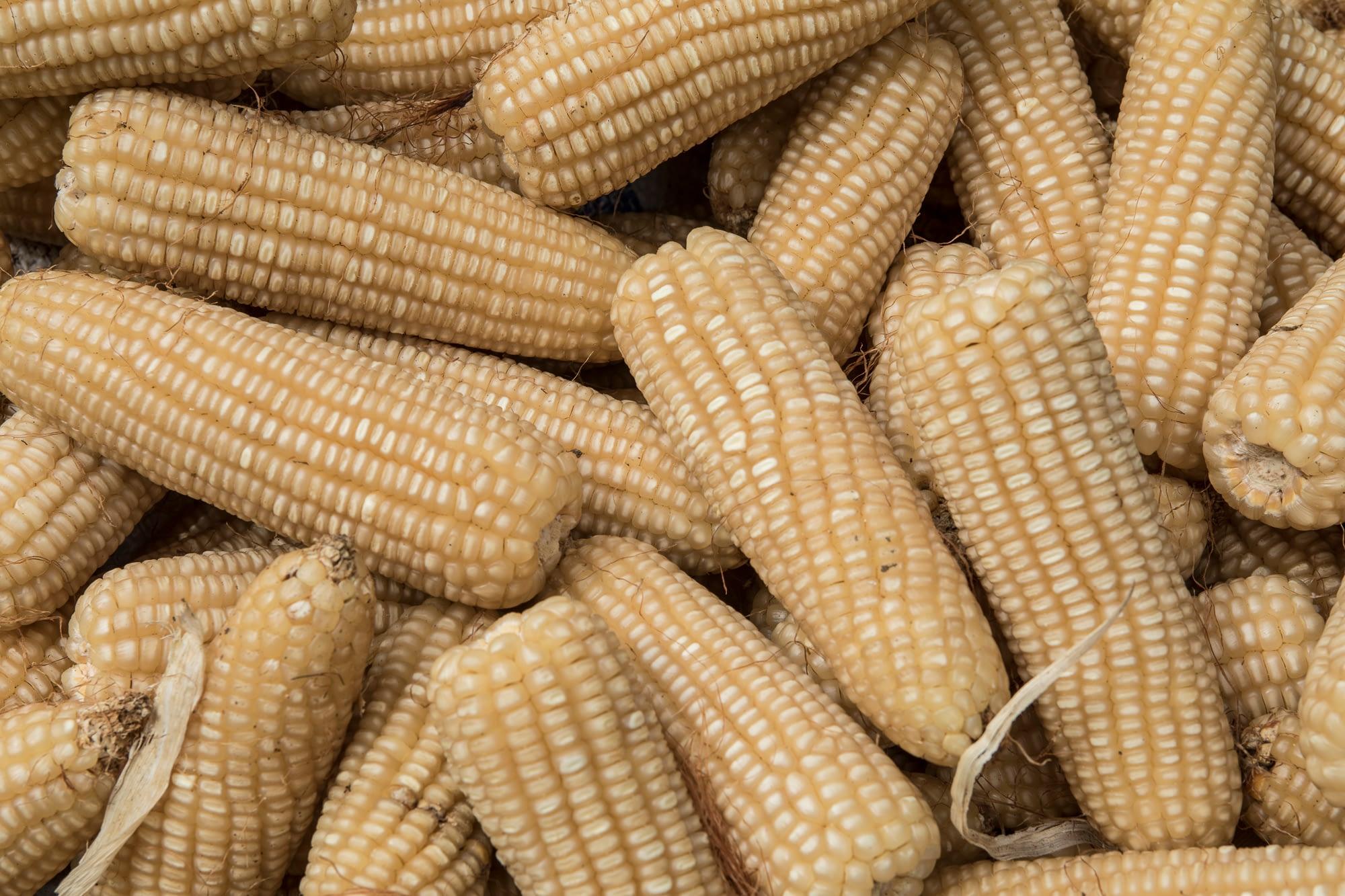 New zinc-biofortified maize variety BIO-MZn01. (Photo: CIMMYT)
