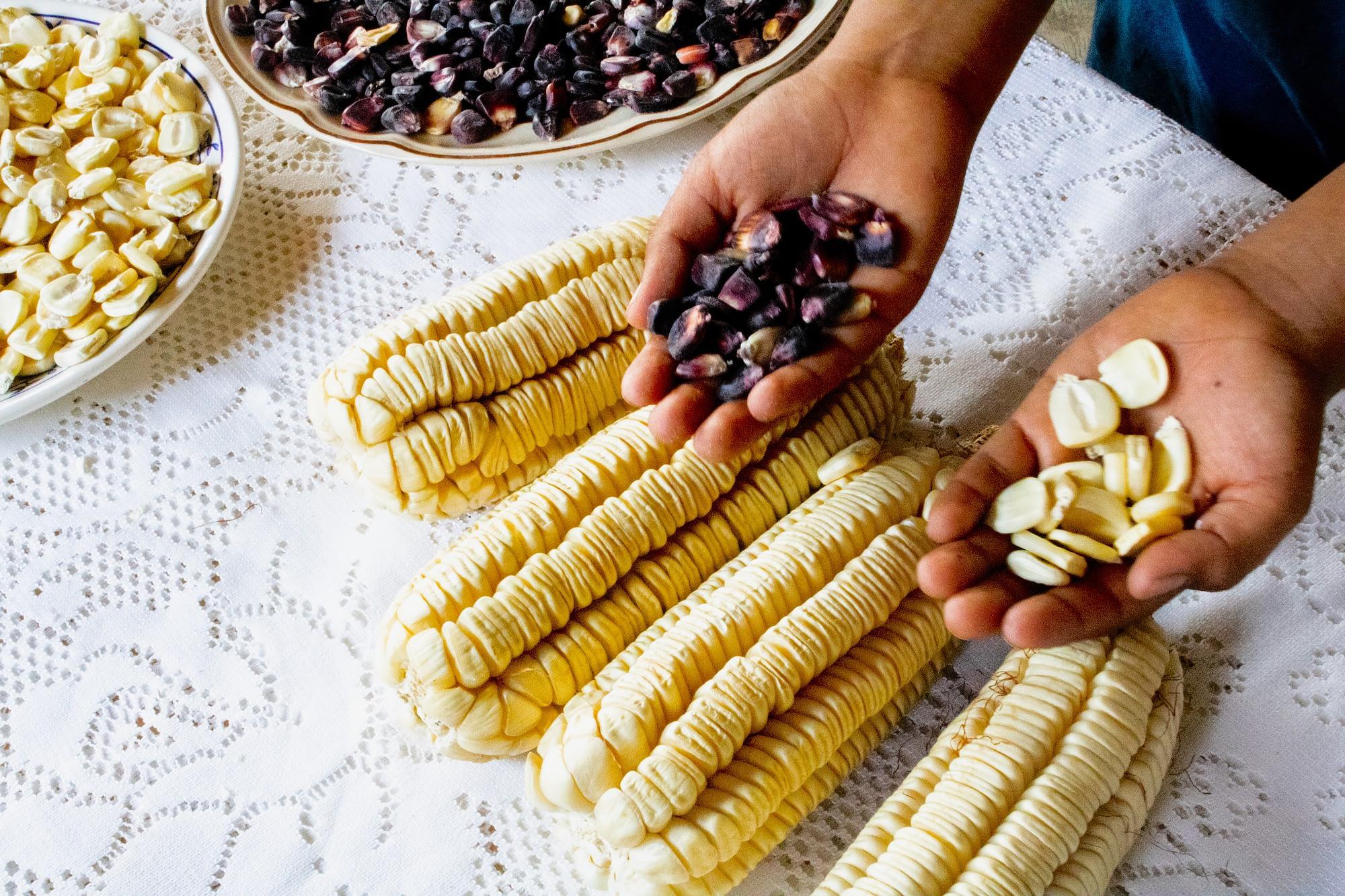 Juarez and Oliveros's grandson shows the family's heirloom maize: maíz colorado (left) and Ancho maize. (Photo: E. Orchardson/CIMMYT)