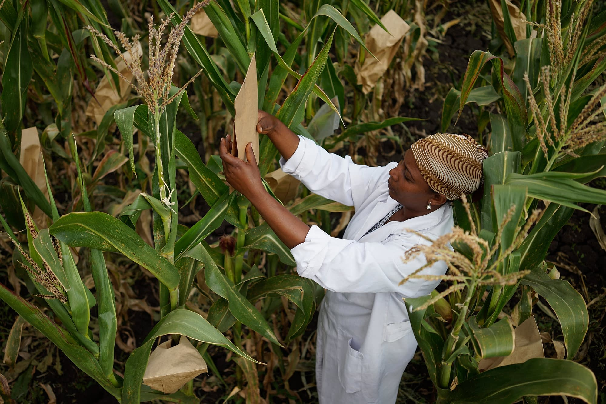 Technical assistant Tigist Masresra examines breeding trials at the Ambo Research Center in Ethiopia. (Photo: Peter Lowe/CIMMYT)