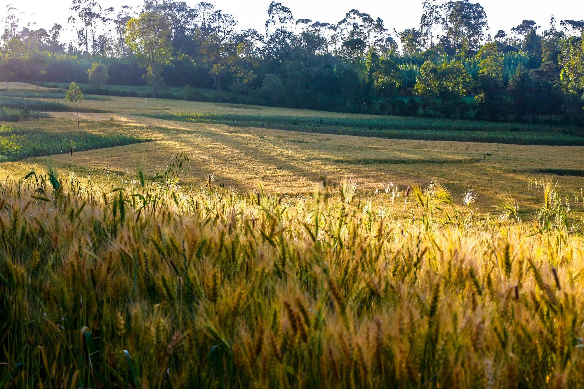 A wheat field in Ethiopia. (Photo: Apollo Habtamu/ILRI)