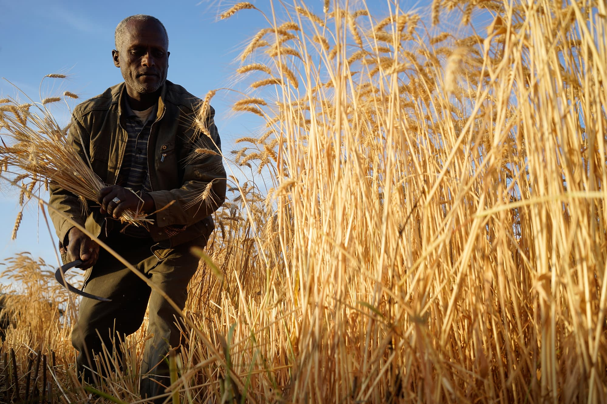 A farmer in Hetosa district, Ethiopia, harvests his wheat crop manually, a time- and labor-intensive approach. (Photo: Peter Lowe/CIMMYT)