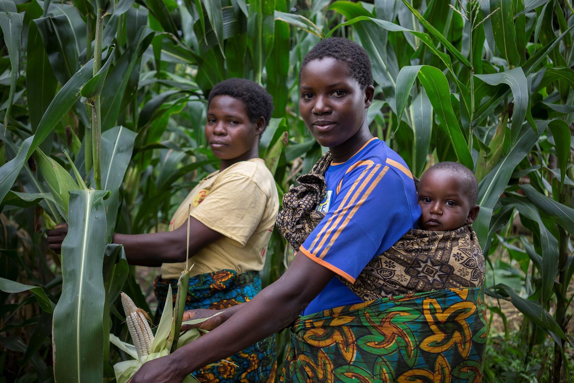 Farmers harvest maize cobs.