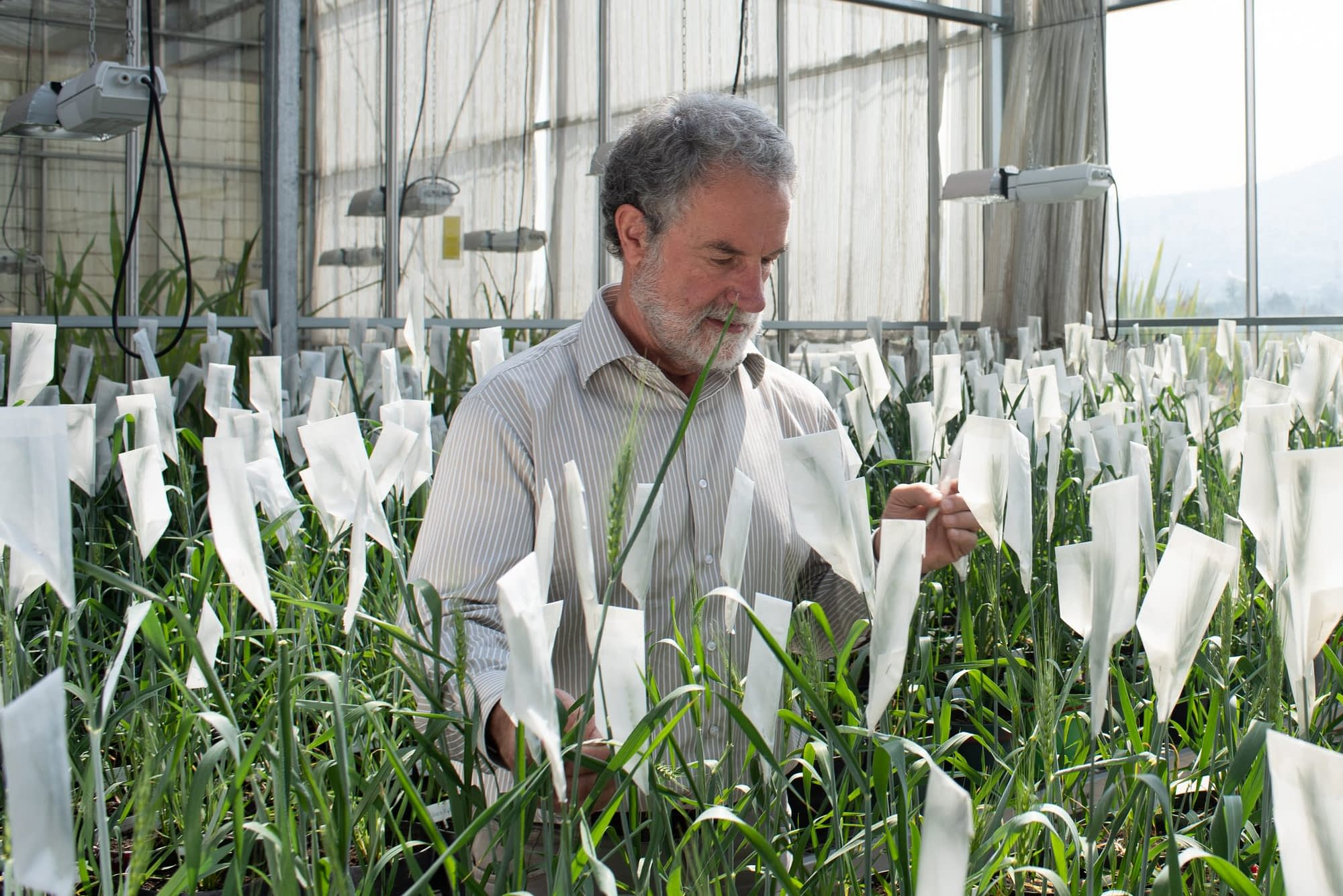 Hans Braun, Director of the Global Wheat Program at the International Maize and Wheat Improvement Center (CIMMYT), inspects wheat plants in the greenhouses. (Photo: Alfonso Cortés/CIMMYT)