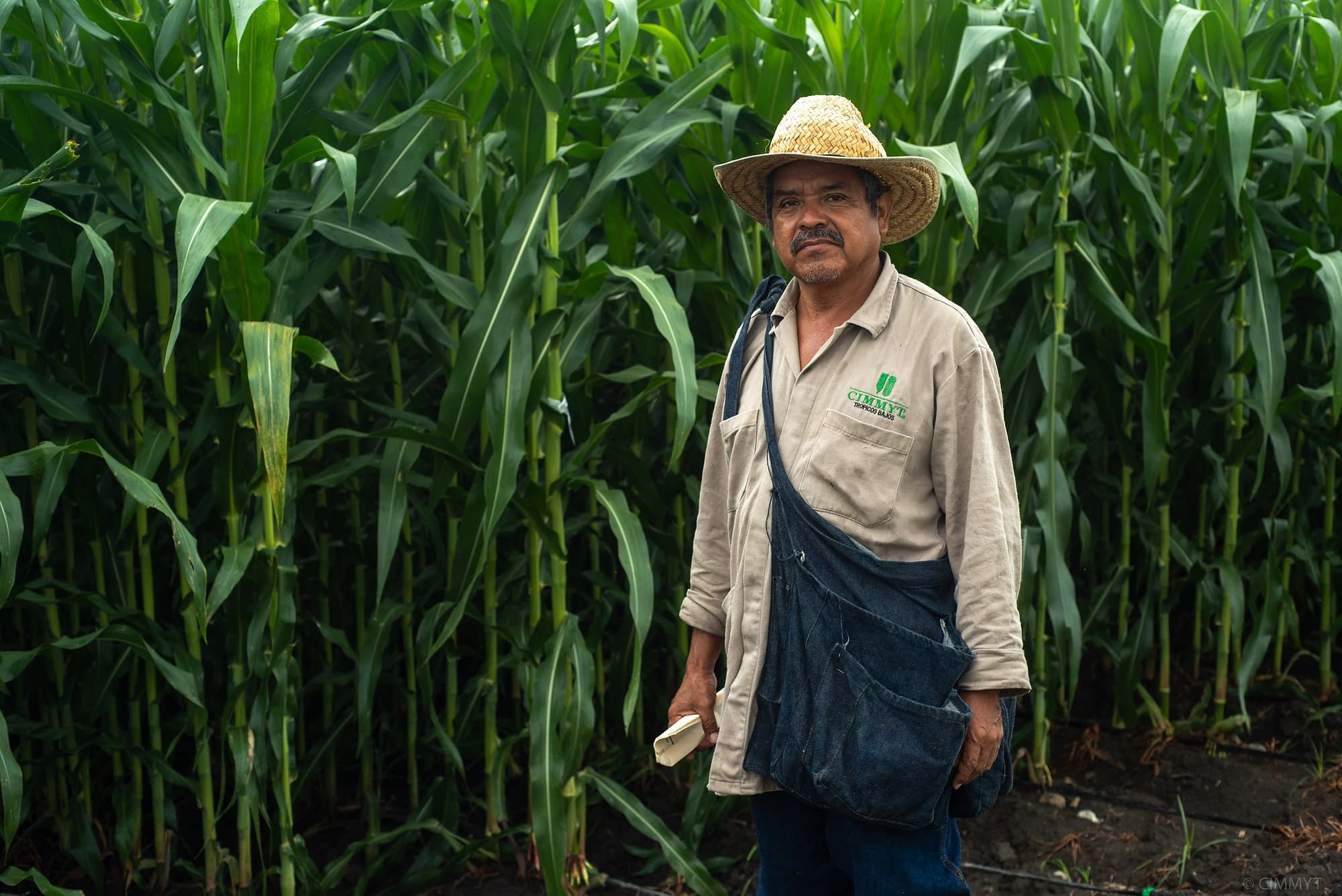 Field worker bagging maize ears at CIMMYT's Agua Fría experimental station. (Photo: CIMMYT/Alfonso Cortés)