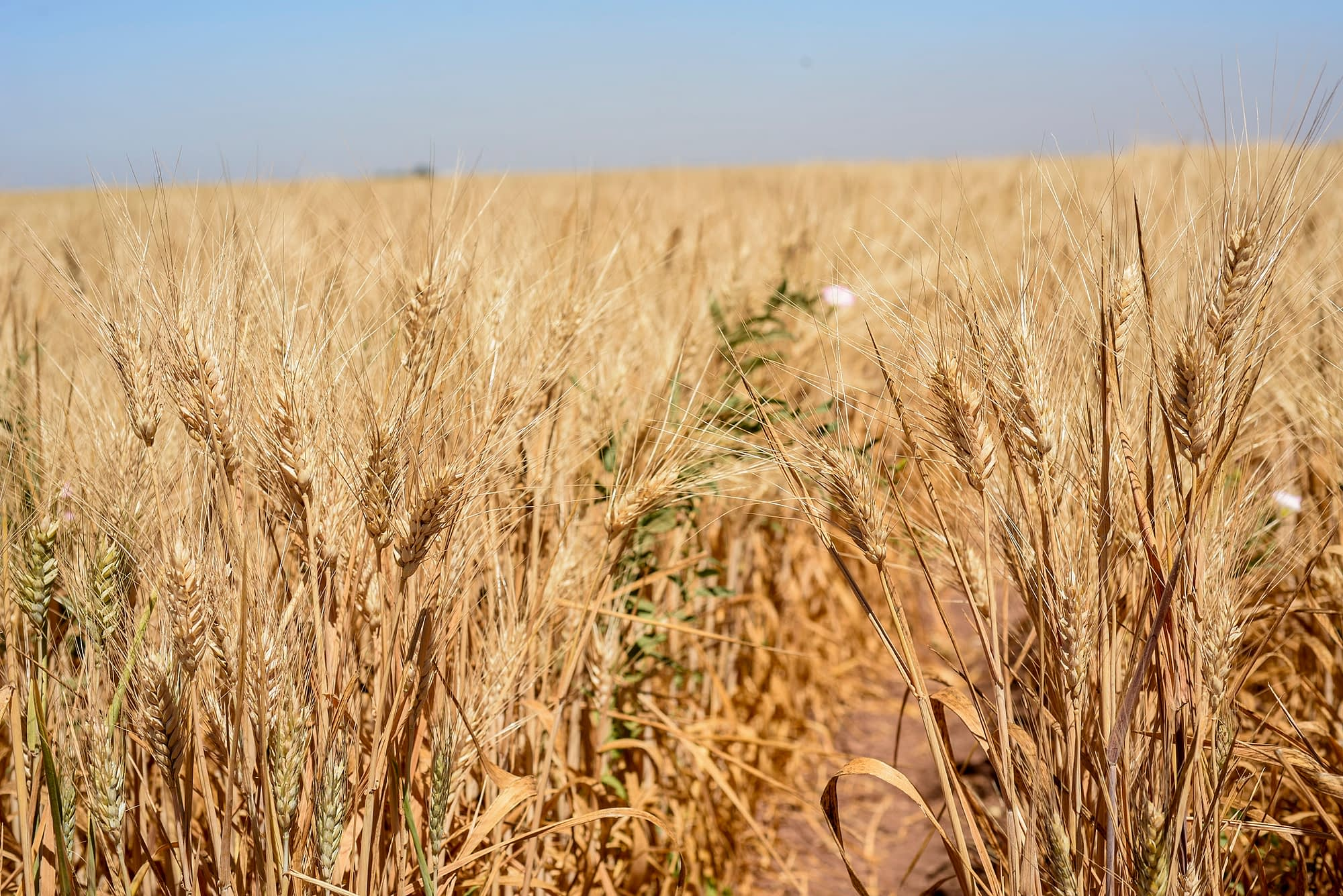 Durum wheat drought tolerance trials in Ciudad Obregon, Mexico, 2017. (Photo: Alfonso Cortés/CIMMYT)