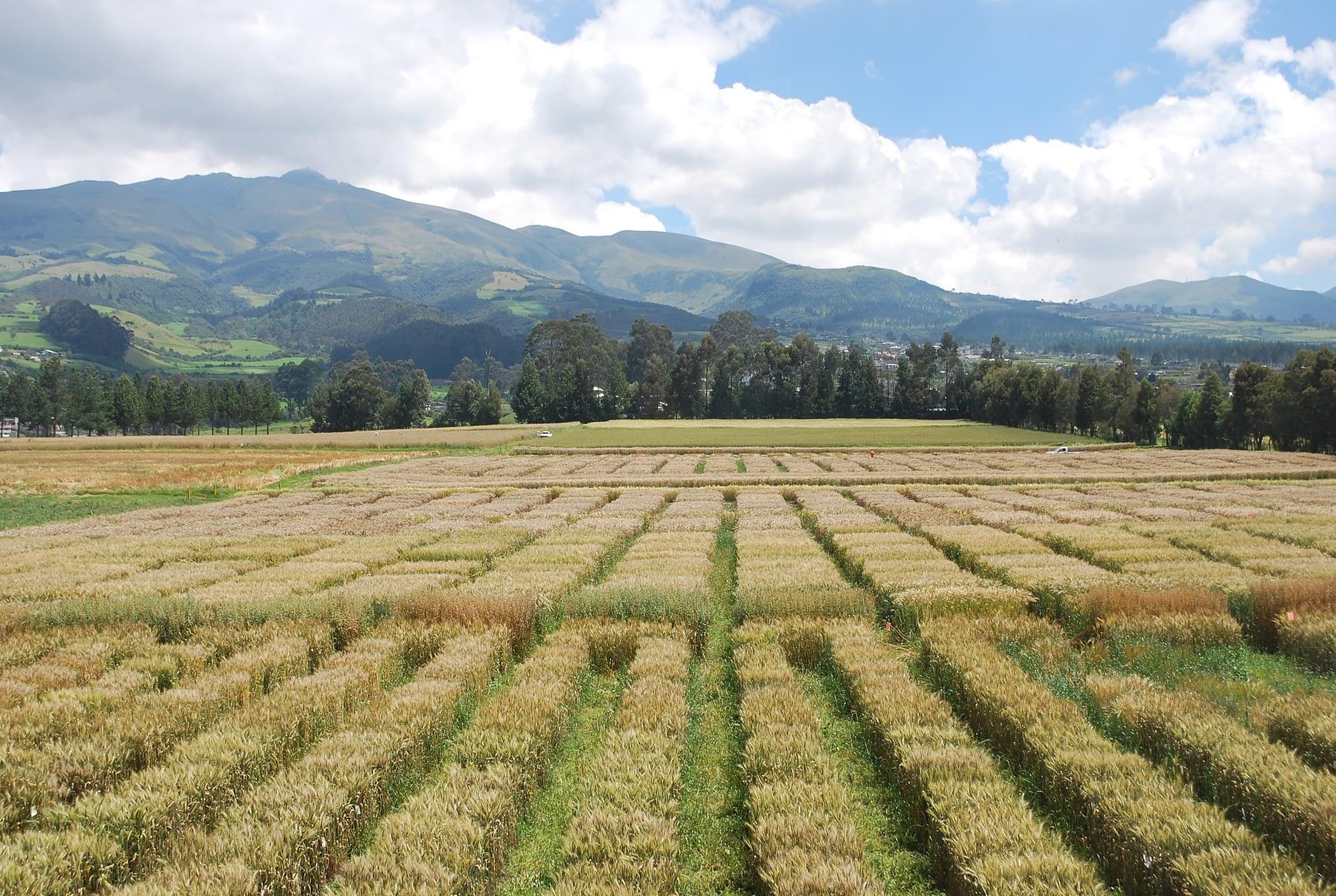CIMMYT international wheat nurseries at the Santa Catalina experimental station, near Quito, Ecuador. (Photo: Nathan Russell/CIMMYT)