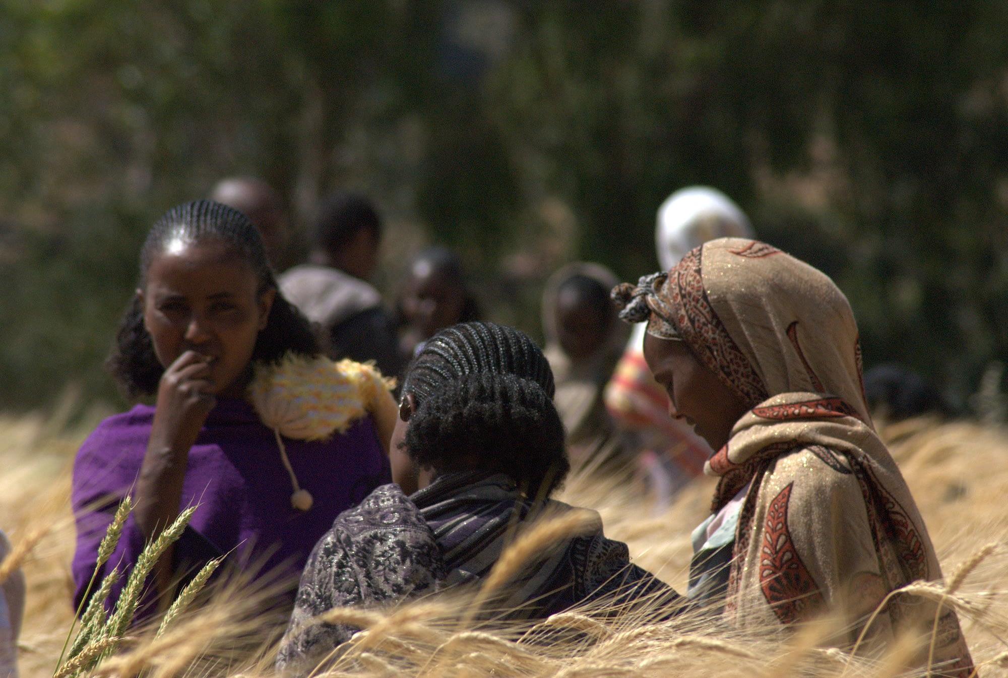 Farmers evaluate traits of wheat varieties, Ethiopia. (Photo: Jeske van de Gevel/Bioversity International)