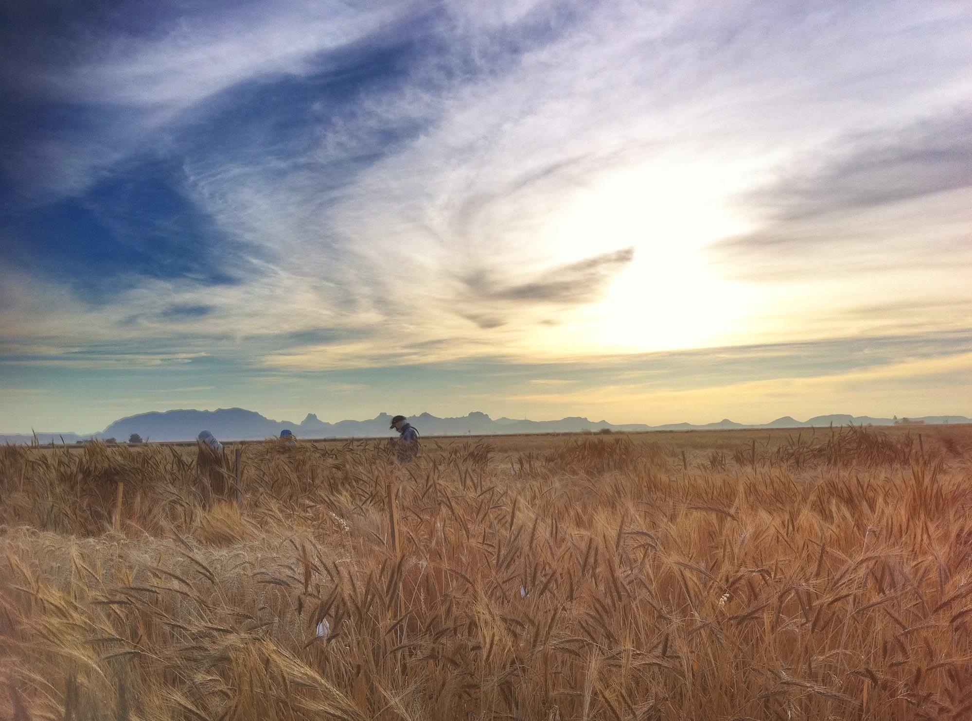 Wheat fields at CIMMYT's experimental station near Ciudad Obregón, Sonora, Mexico. (Photo: M. Ellis/CIMMYT)