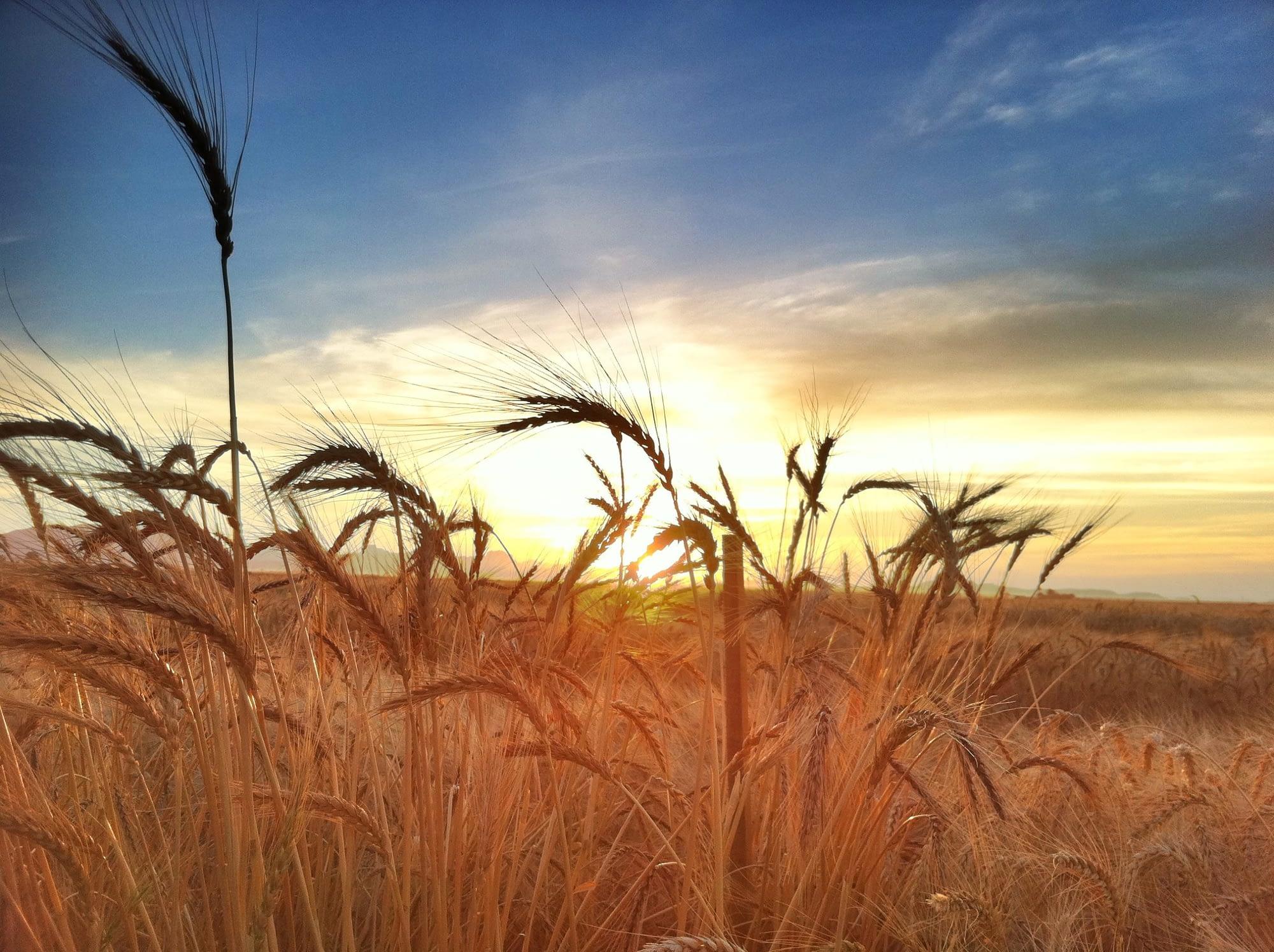 Wheat fields at CIMMYT's experimental stations near Ciudad Obregón, Sonora state, Mexico. (Photo: M. Ellis/CIMMYT)