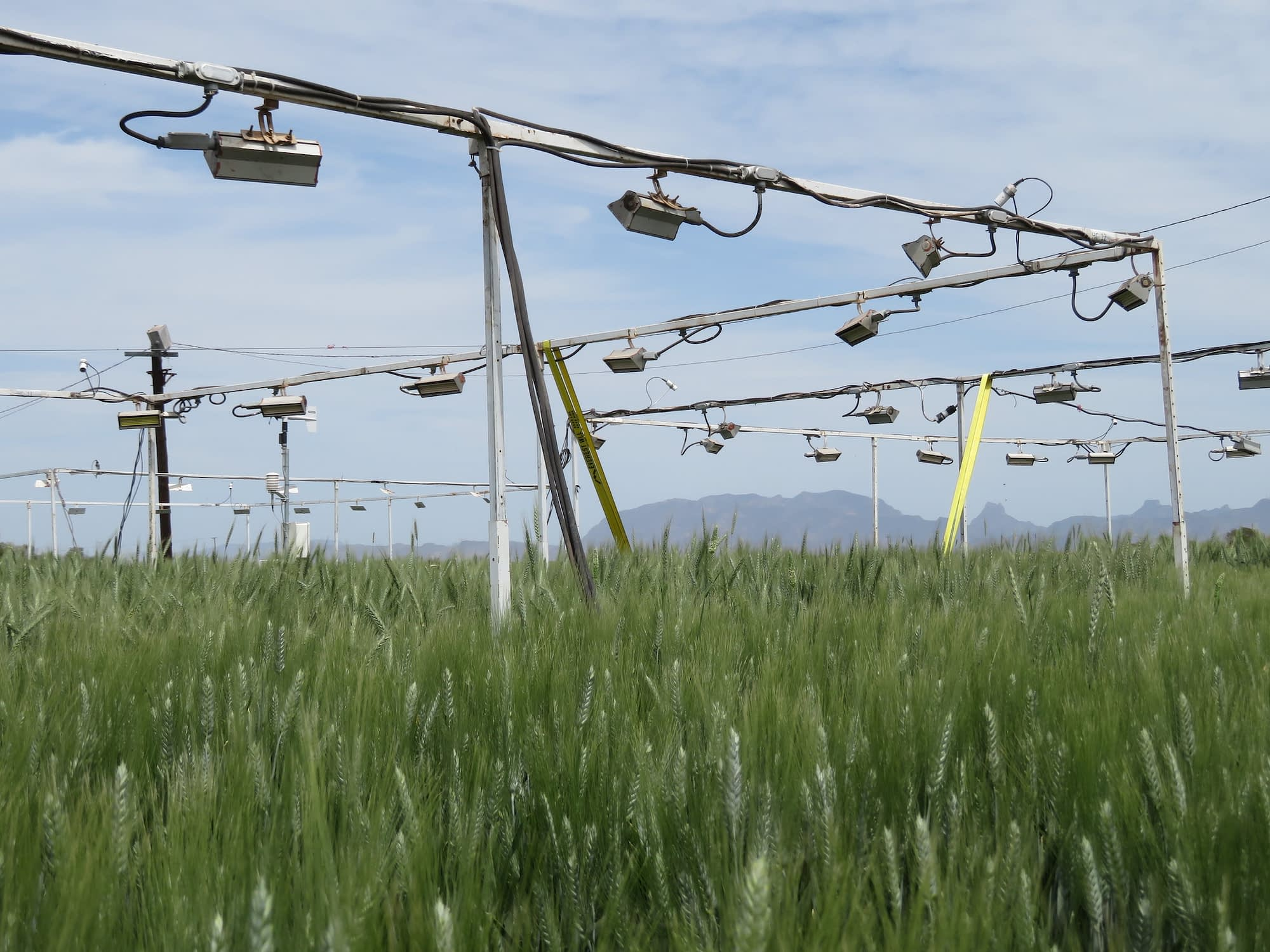 CIMMYT researchers use coverings to increase night-time temperatures and study wheat's heat tolerance mechanisms, key to overcoming climate change challenges to wheat production. (Photo: Kevin Pixley/CIMMYT)