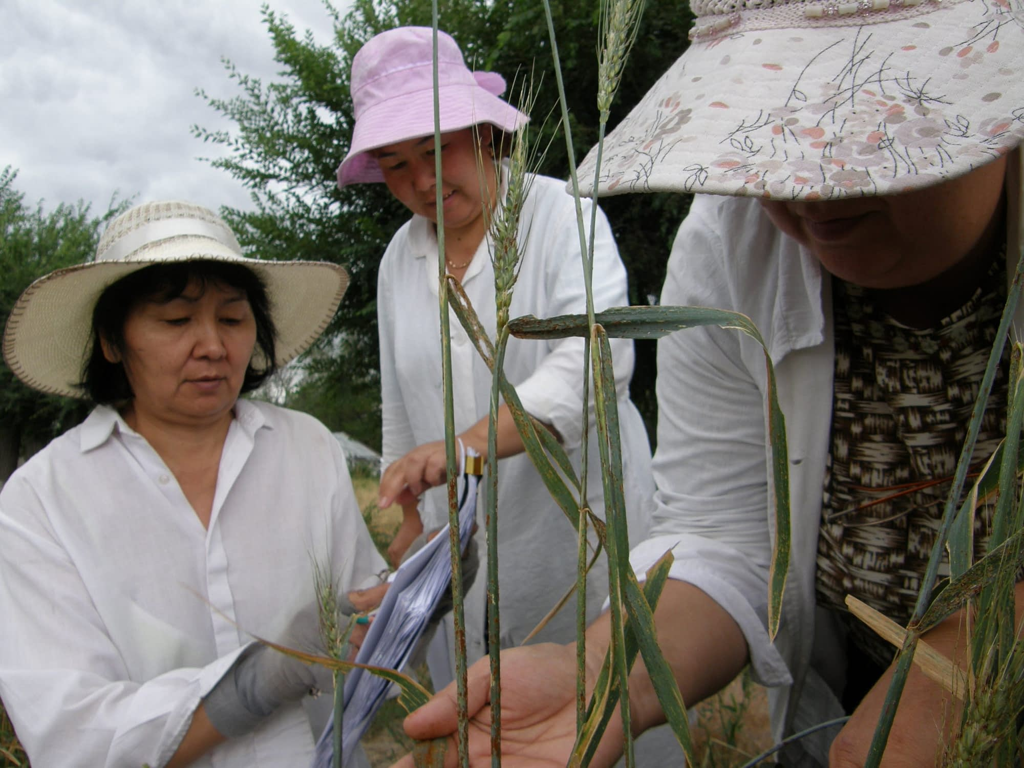 Scientists from IPBB evaluate wheat infected with tan spot and wheat rusts in Kazakhstan. (Photo: IPBB)
