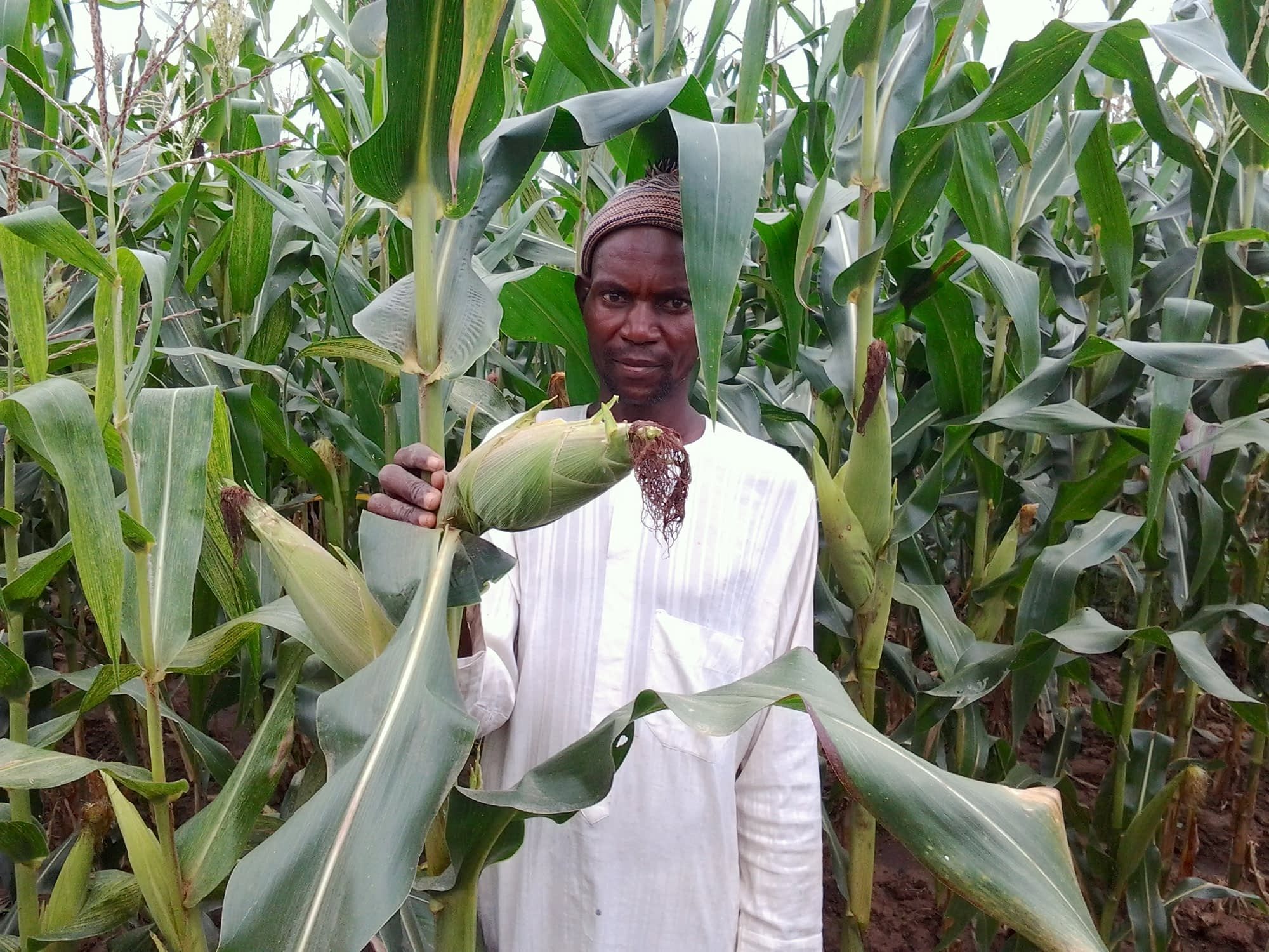 A farmer shows maize growing in his field, in one of the communities in northern Nigeria which participated in the study. (Photo: Oyakhilomen Oyinbo)