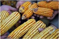 comparison-drought-tolerant-maize