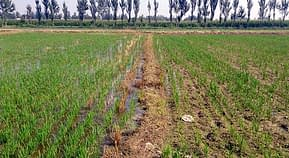 On the left, an irrigated ZT field; on the right, a conventionally prepared field (yet to be irrigated), 35 days after transplanting. Photo: Jack McHugh/CIMMYT