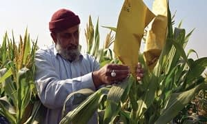 Pollination of maize. Photo courtesy of aip.cimmyt.org.