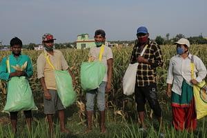 Seed company staff harvesting maize during the lockdown. (Photo: Darbin Joshi/CIMMYT)
