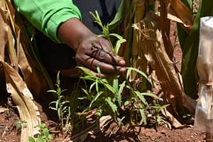 A young, yet-to-flower Striga weed at the CIMMYT-KALRO Kibos Research Station in Kisumu. (Photo: Joshua Masinde/CIMMYT)