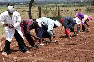 Planting rust resistance trials at Njoro