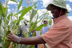 CIMMYT breeder Jumbo Bright evaluates a maize ear at the Kiboko Research Station in Kenya. CIMMYT applies modern breeding technologies to develop improved varieties that are tolerant and/or resistant to various stresses. Photo: B. Wawa/CIMMYT