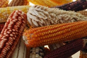 Native maize varieties, known as landraces, contain a broad amount of genetic diversity that could protect food security for future generations.