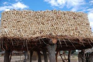 A farmer dries maize on his rooftop in Zimbabwe. CIMMYT/ F. Sipalla