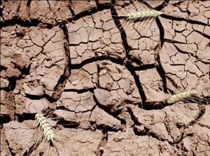 crackedsoil-wheatspikes