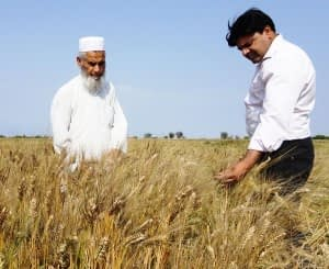 Two wheat breeders evaluating durum wheat lines in National Uniform Yield Trial at Barani Agricultural Research Institute, Chakwal, Pakistan. Photo: Attiq Ur Rehman/Cimmyt.