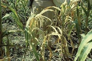 deadly-maize-disease