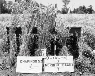 Pictured above is a cross between Chapingo 53 - a tall variety of wheat that was resistant to a fungal pathogen called stem rust - and a variety developed from previous crosses of Norin 10 with four other wheat strains. Photo: CIMMYT