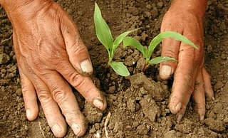 cimmyt-maize-planting