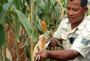 A man reviews maize in a field