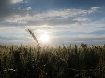 Wheat Atlas