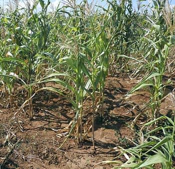 Drought-stricken maize: For most farmers around Machipanda village, Manica Province, Mozambique, the situation this season is bleak, auguring complete crop failure or a harvest of a few small maize cobs. Photos: CIMMYT