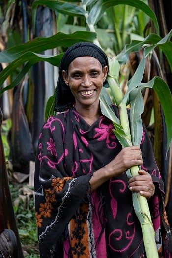 Faxuma Adam harvests green maize Sidameika Tura village, Arsi Negele Photo: Peter Lowe/ CIMMYT