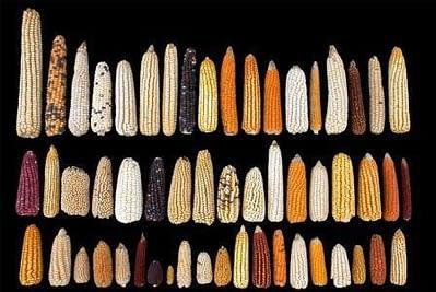 Select maize varieties from CIMMYT's genebank. Photo: CIMMYT
