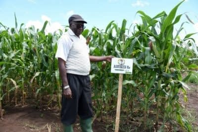 AgriSeed Director Ambonesigwe Mbwaga visits AgriSeed's production farm in Mbozi, southern Tanzania. This field features AgriSeed H12, the first hybrid the company sold. Photo: K. Kaimenyi/CIMMYT