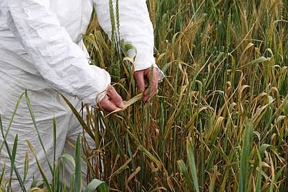Examining Ug99 stem rust symptoms on wheat. Photo: Petr Kosina/CIMMYT