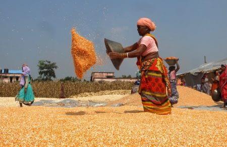 A women dries maize grain after shelling. Photo: CIMMYT/ Wasim Iftikar
