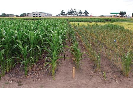 Contrast between maize grown in rotation with wheat, with zero tillage on the flat, and retention of all residues (left), with maize grown without rotation, with conventional tillage and removal of all residues (right), on long-term conservation agriculture (CA) trial plot D5 at CIMMYT's headquarters, El Batán, Mexico. Photo: CIMMYT