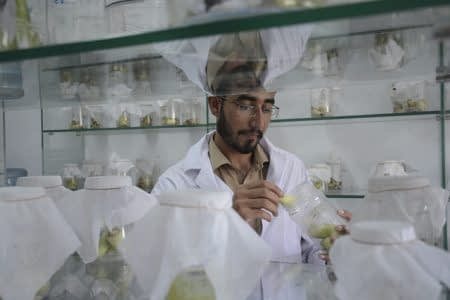 AIP researcher in the maize stem borer lab – the only facility in Pakistan for mass rearing of maize stem borers. Photo: A.Yuqub /CIMMYT