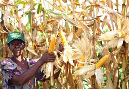 Mary Sikirwayi of Murewa District in Zimbabwe showing her orange maize cobs in the field. Photo: R. Lunduka/CIMMYT.