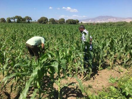 Hugo Plus seed growing in Haiti. Photo: L. Eugene/CIMMYT