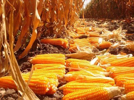 Provitamin A-enriched orange maize in Zambia. Photo: CIMMYT