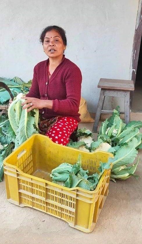 Woman prepares cauliflower for marketing.