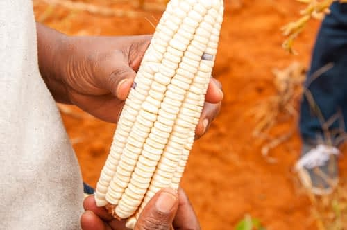 A picture of robust health and vitality: like most other improved DT maize varieties, KDV4 truly comes into its own in drought, and does even better when there is no drought. Photo credit: B. Wawa/CIMMYT