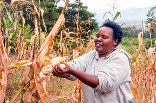Sarah's smile is due to KDV4 drought-tolerant maize. Her first-time 'drought insurance' venture has paid off, and she's harvested more despite the drought than she normally does even in good years. Photo credit: B. Wawa/CIMMYT